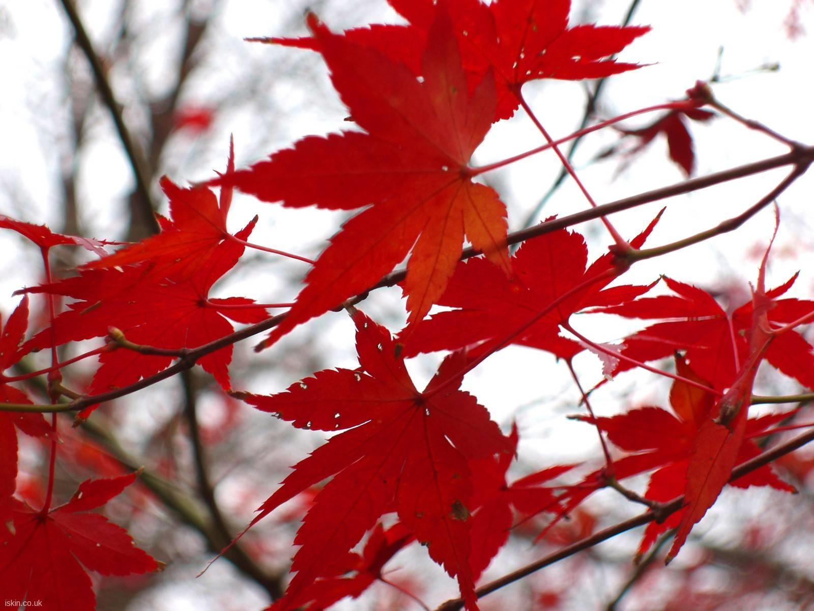 Acero Rosso Acer Buergerianum Piante Da Giardino Caratteristiche Dellu0027acero  Rosso