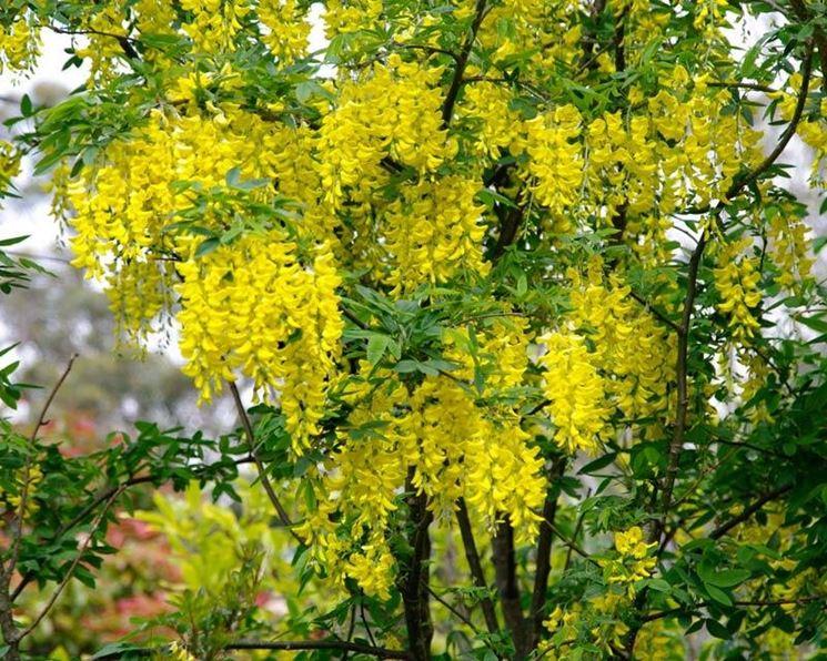 Alberi da fiore piante da giardino caratteristiche alberi da fiore - Foto di alberi da giardino ...
