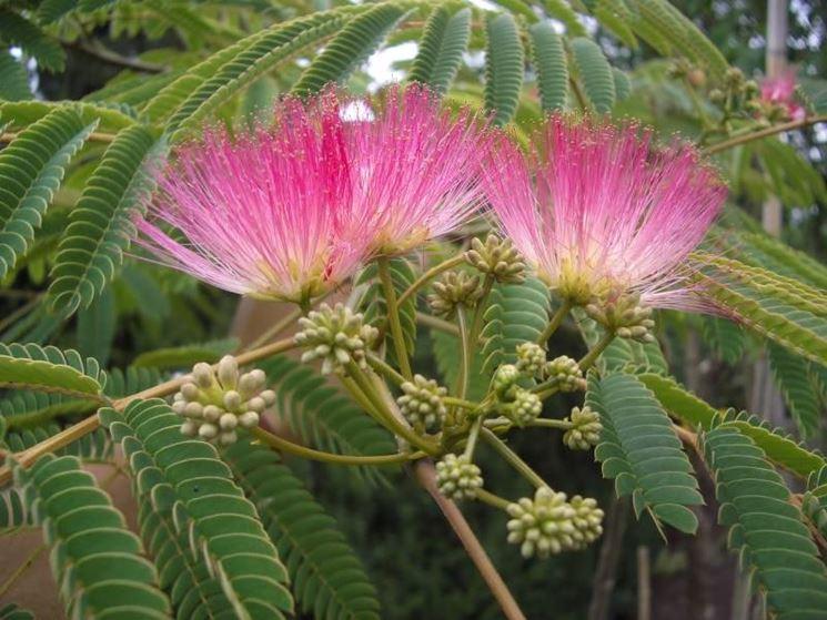 Fiore di Albizia julibrissin