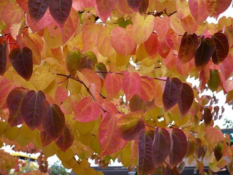 Foglie di Cercidiphyllum japonicum in autunno