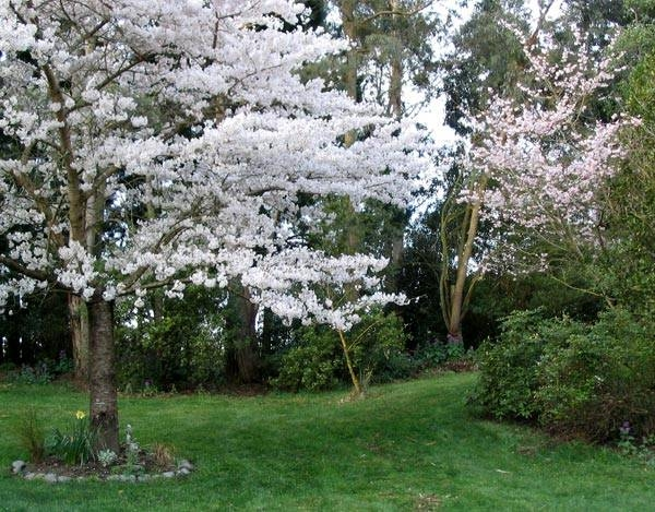 Alberi da fiore piante da giardino caratteristiche - Alberi sempreverdi da giardino ...