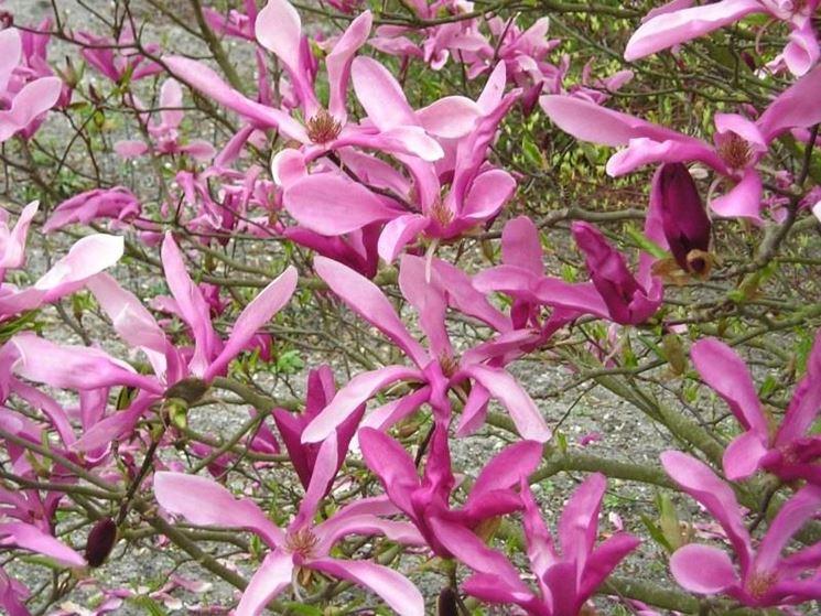 Fiori di magnolia