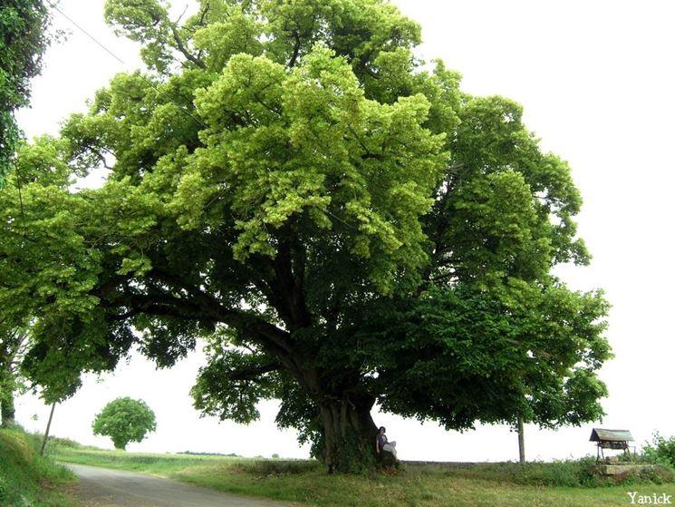 Il tiglio for Tiglio albero