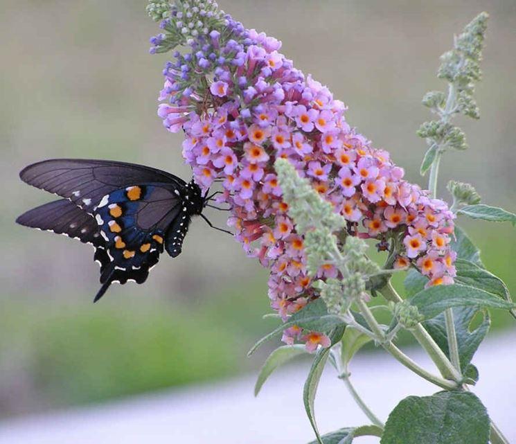 Buddleia o albero delle farfalle