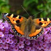 arbusto delle farfalle