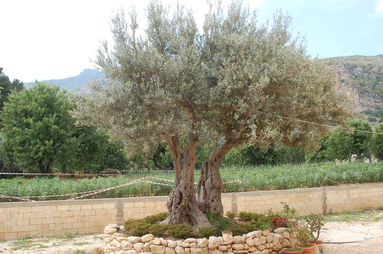 Arbusti sempreverdi piante da giardino caratteristiche for Alberi da giardino sempreverdi