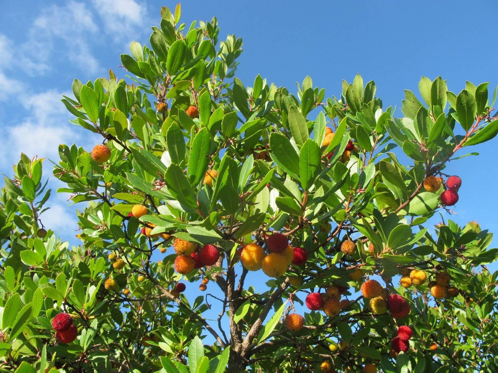 Arbusti sempreverdi - Piante da Giardino - Caratteristiche degli ...