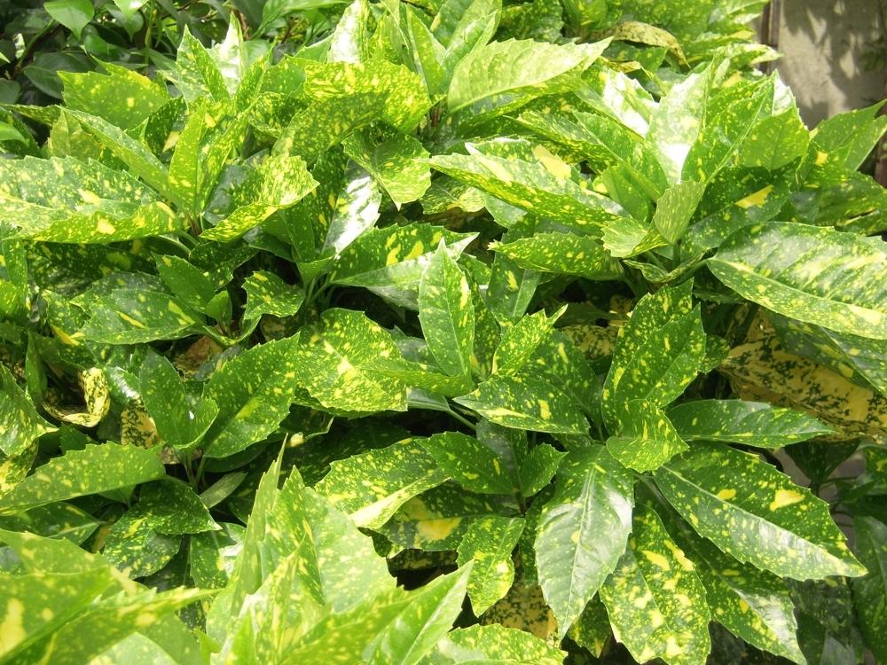 Aucuba aucuba japonica piante da giardino for Piante esterne da giardino