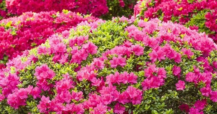 Azalea come coltivare piante da giardino coltivazione - Azalea foglie ...