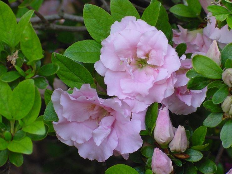 Varietà d'azalea a fiore doppio