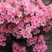"""Rhododendron """"Fiori di azalea"""" variet� rosa"""