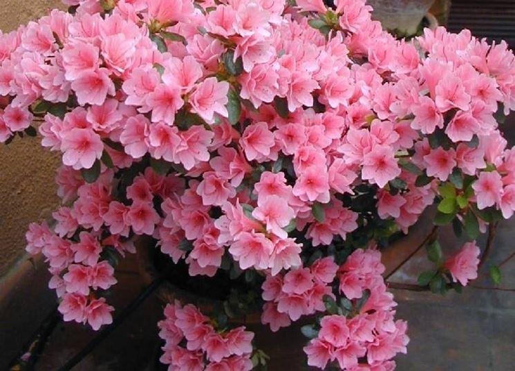 Azalea cura piante da giardino azalea cura
