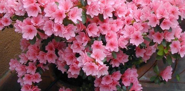 <h6>Azalea cura</h6>L'azalea � una pianta ornamentale da fiore, tra le pi� apprezzate al mondo; usata come simbolo per la festa della mamma e per la lotta contro il cancro, l'azalea richiede una minima cura indispensabile per ottenere bellissimi fiori colorati. Pu� essere coltivata in giardino e in vasi da terrazza.