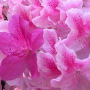 azalea fioritura