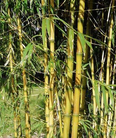 Una pianta di bamboo
