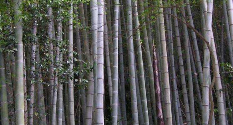 Una foresta di bamboo