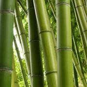 pianta bamboo