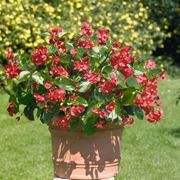 begonia pianta