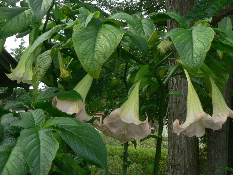Brugmansia pianta