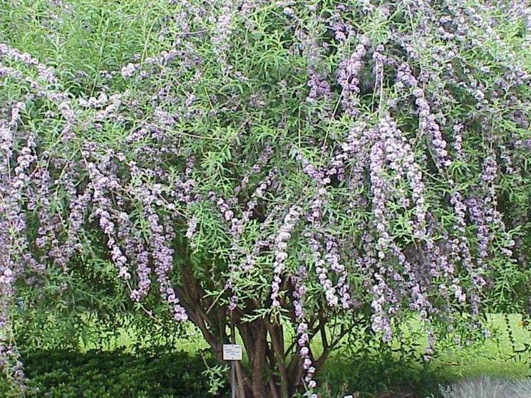 Un arbusto di buddleia in giardino