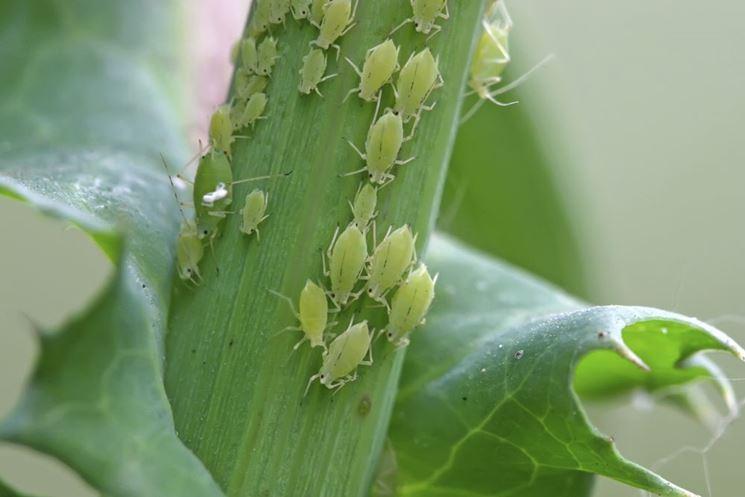 Infestazione afidi verdi