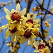 Calicanto fiore