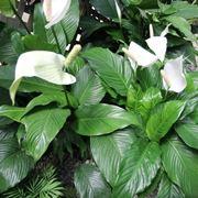 pianta simile alla calla