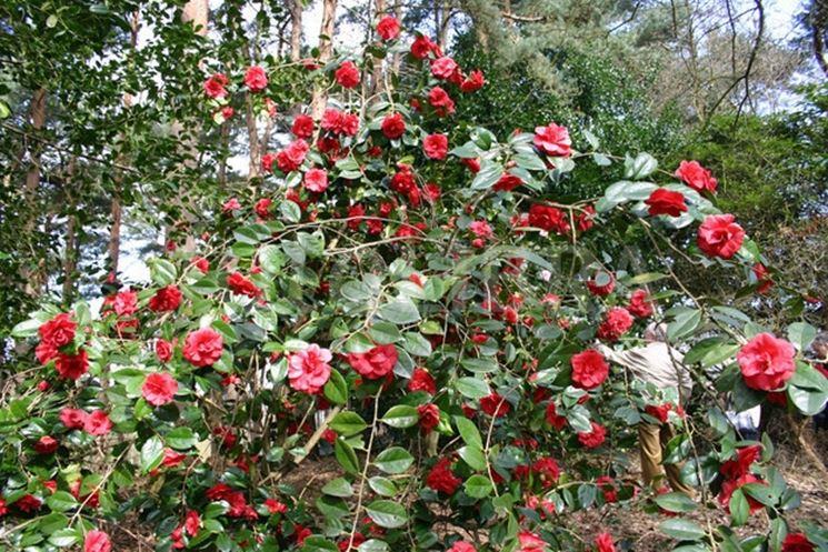 camelia rossa piante da giardino come curare la