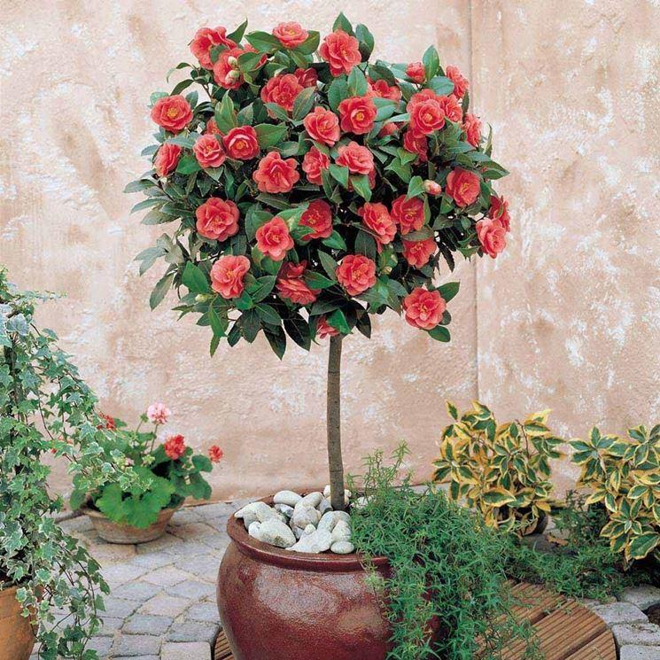 Camelia rossa piante da giardino come curare la for Alberelli da vaso per esterno