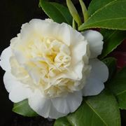 camelia jurys yellow