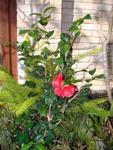 Piantina di camellia japonica