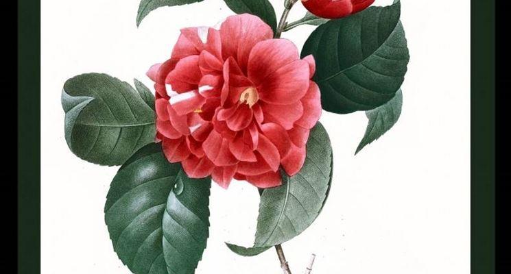 Camellia japonica (disegno del 1827)
