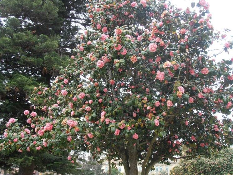 Camellia japonica piante da giardino camellia japonica for Camelia fioritura