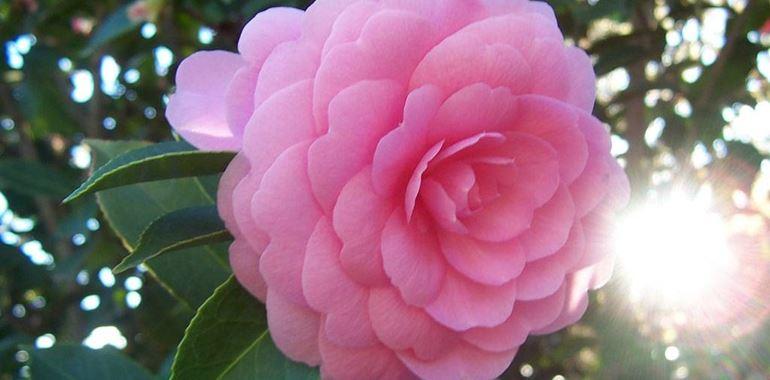 <h6>Camellia japonica</h6>Un fiore simbolo di amore eterno, questa pianta di origini lontane potr� crescere anche nel vostro giardino.