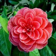 Camellia japonica piante da giardino camellia japonica for Camelia japonica in vaso