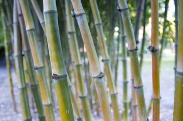 Piantagione di canne di bamboo