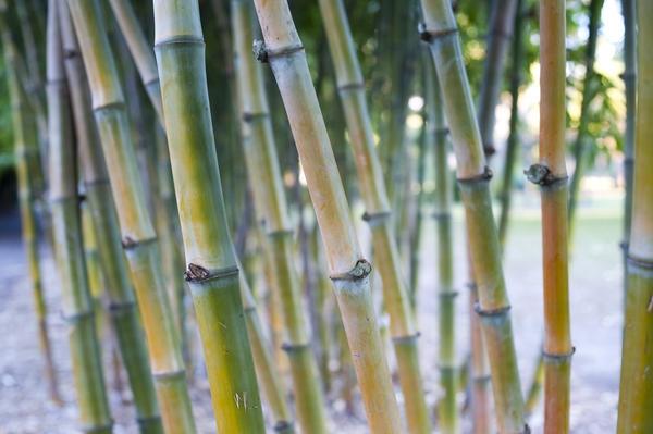 canne di bambu piante da giardino canne di bambu