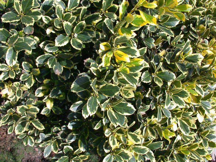 cespugli sempreverdi piante da giardino