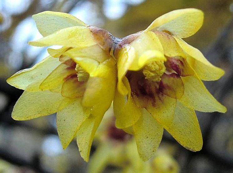 Dettaglio infiorescenze Chimonanthus praecox.