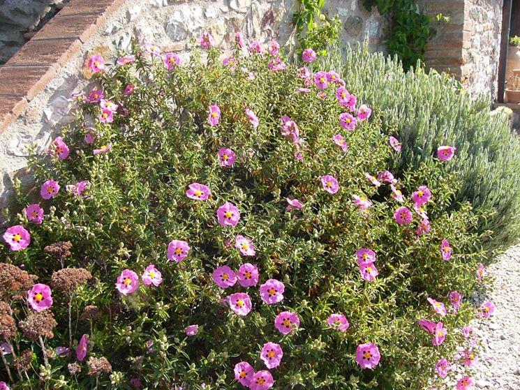 Cisto piante da giardino caratteristiche della pianta for Piante da cespuglio