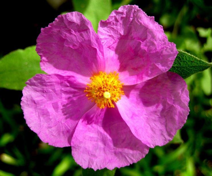 Cistus fiore