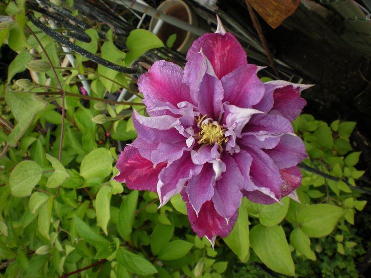 La Clematis piilu in fiore