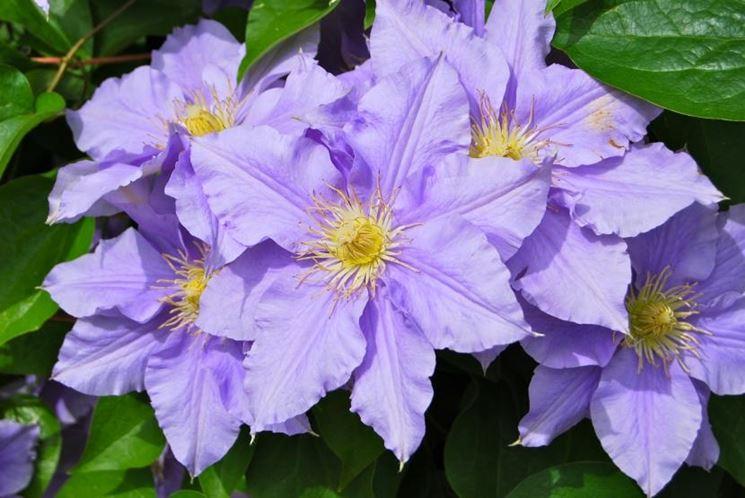 Fiore clematis