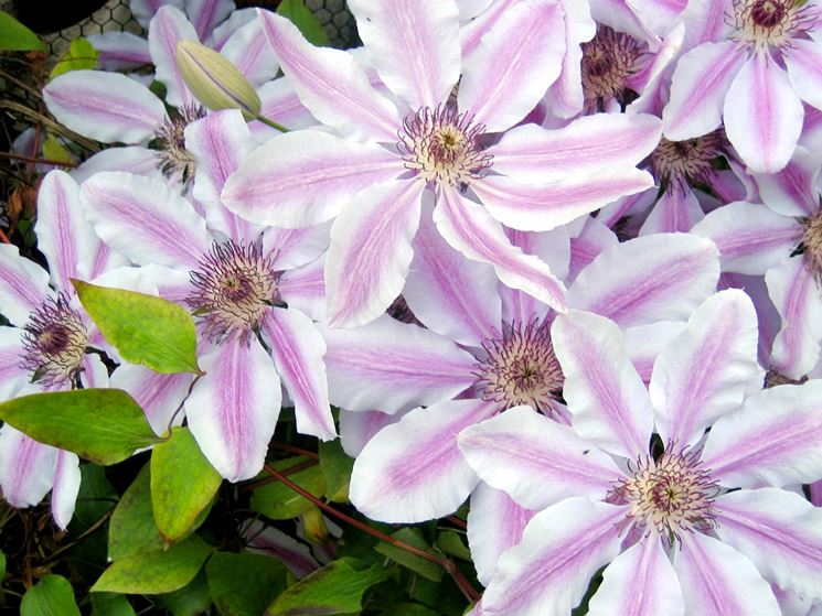 Infiorescenze pianta clematide