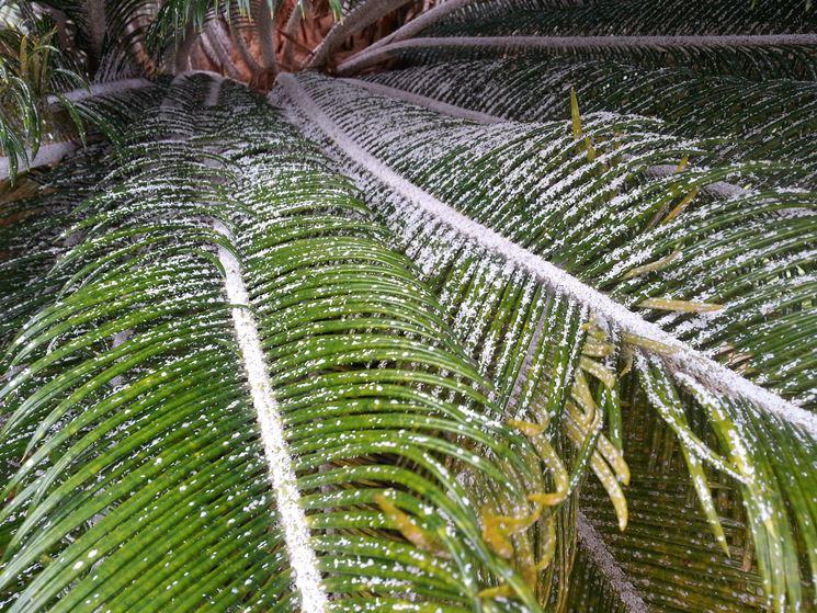 White spots on palm leaves bing images - Pianta da giardino ...