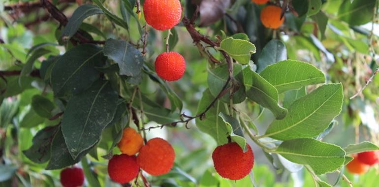 <h6>Corbezzolo pianta</h6>La pianta di corbezzolo potr� abbellire il vostro giardino con il suo colore acceso, scoprite con noi come coltivarla.