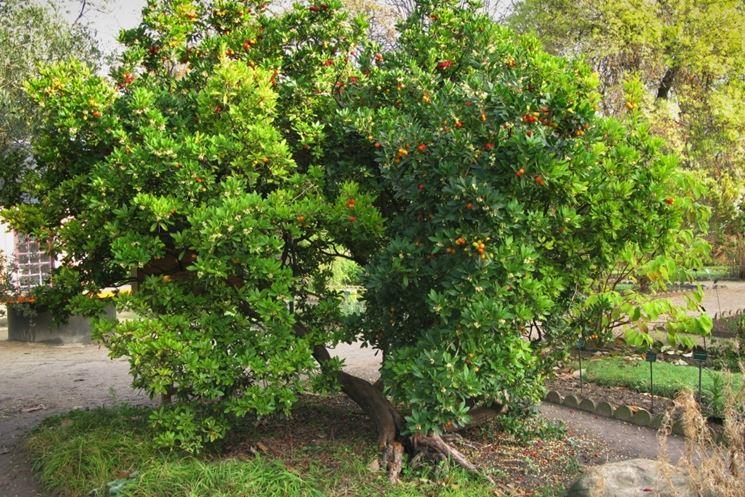 Arbusto Corbezzolo