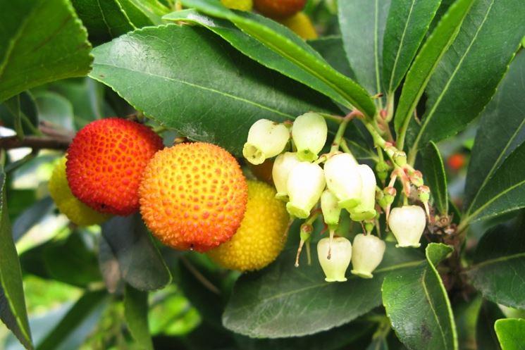 Fiori frutti Corbezzolo