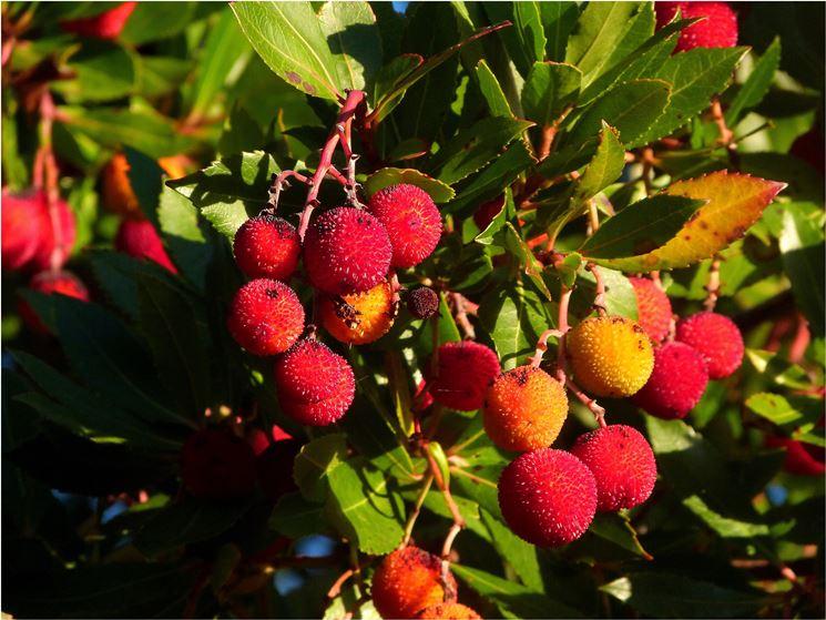 Frutti Corbezzolo