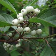 Frutti cornus alba